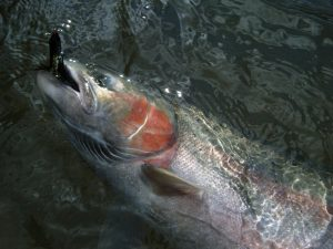 Steelhead Blush