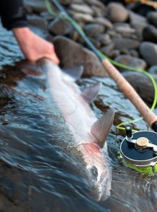 Steelhead in Stream