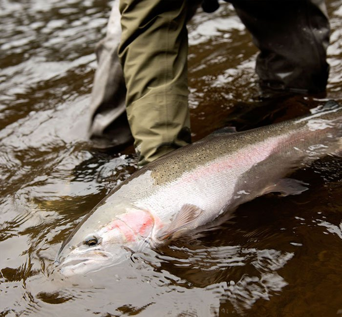 Salmon in the Babine River