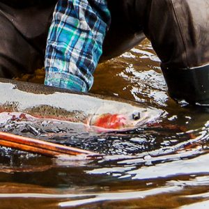 Netting a Steelhead